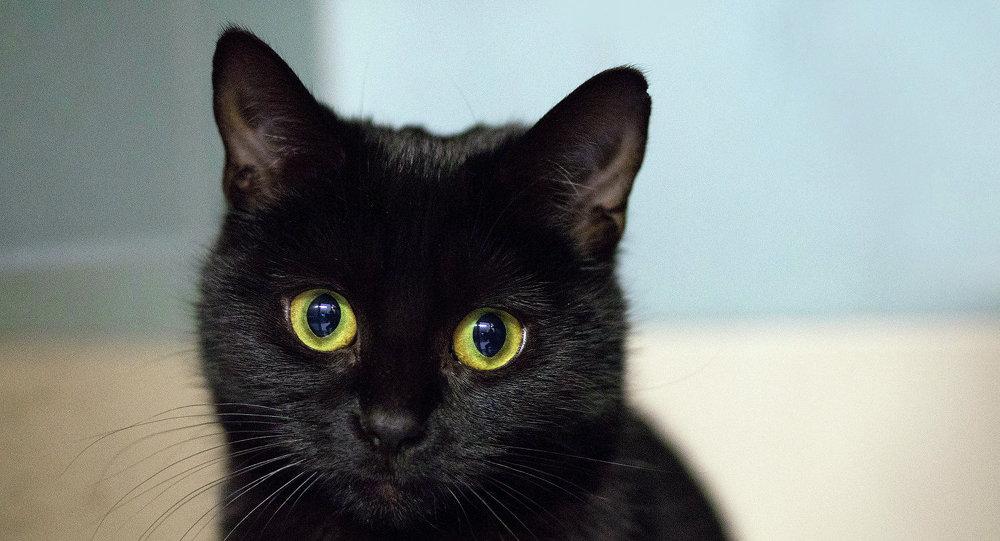 Gato negro (archivo)