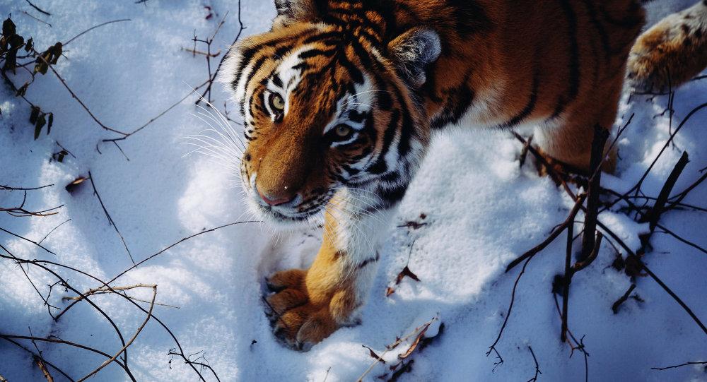 Tigre del Amur