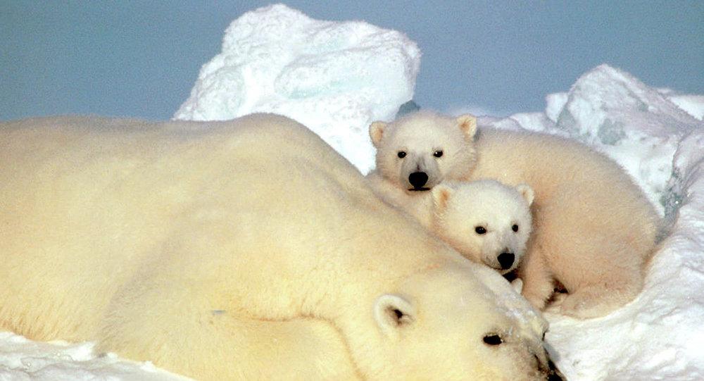 Un oso polar descansa con sus cachorros en el hielo de Alaska, EEUU