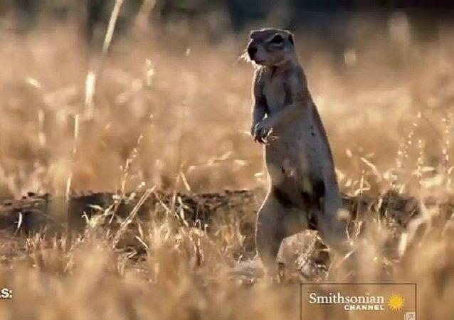 Combate a muerte: mangosta vs. cobra