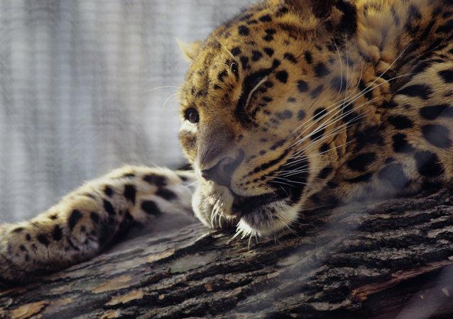 Leopardo del Amur (archivo)