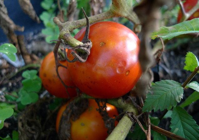 Tomates enfermos por falta de agua