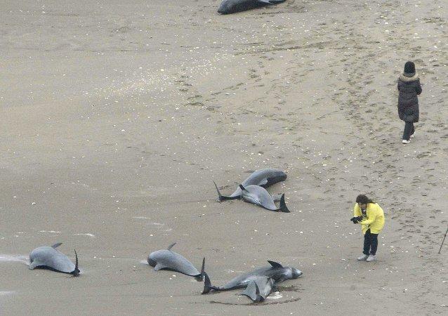 Docenas de delfines aparecieran varados en las costas de Japón