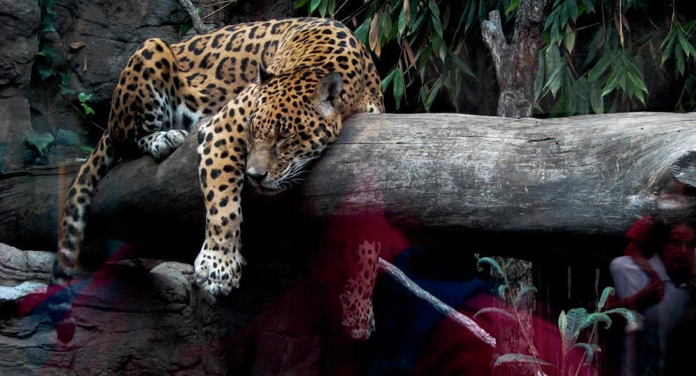 México busca salvar al jaguar sagrado de las culturas aborígenes de América