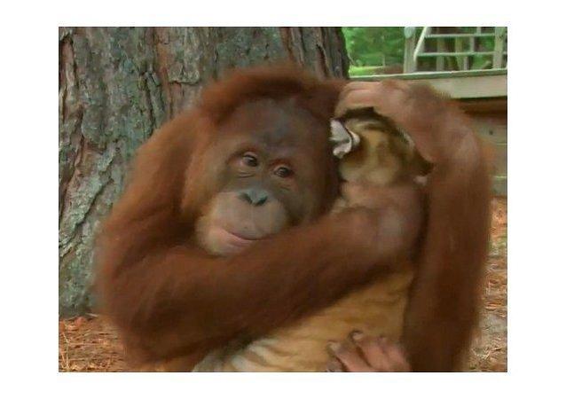 Un orangután adopta cachorros de tigre
