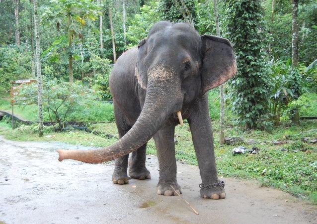 Elefante en India