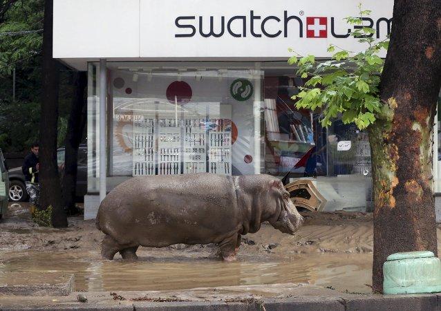 El hipopótamo esta en la calle inundada de Tbilisi