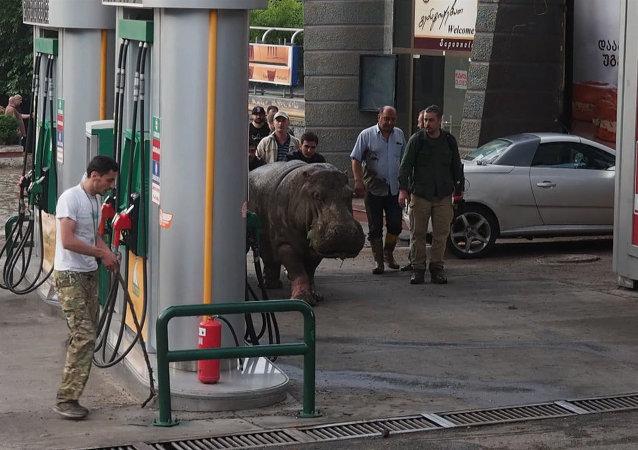 Los habitantes de Tiflis atrapan a un hipopótamo