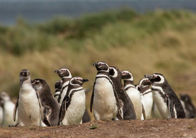 Sobrepesca en Argentina provoca llegada masiva de pingüinos a Brasil