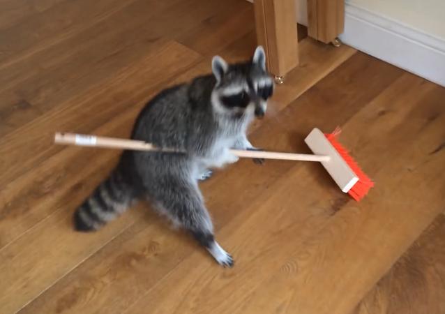 El mapache se pone con la limpieza de casa