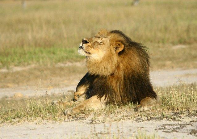 León Cecil en el Parque Nacional Hwange, Zimbabue