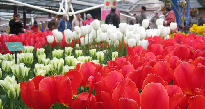 Tulipánes