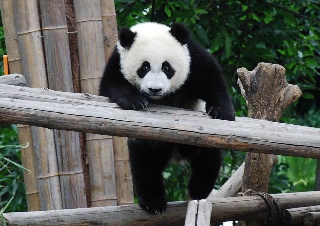 Un panda (archivo)