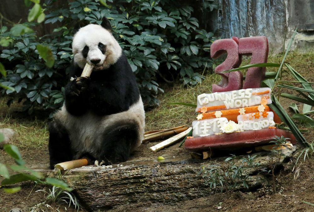 El panda gigante Jia Jia