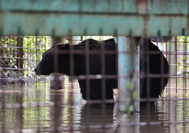 Oso en el zoo Isla Verde afectado por la inundación