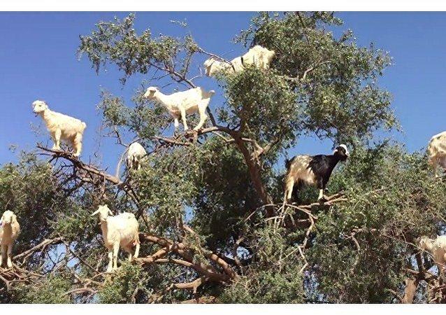 Cabras como hojas de los árboles