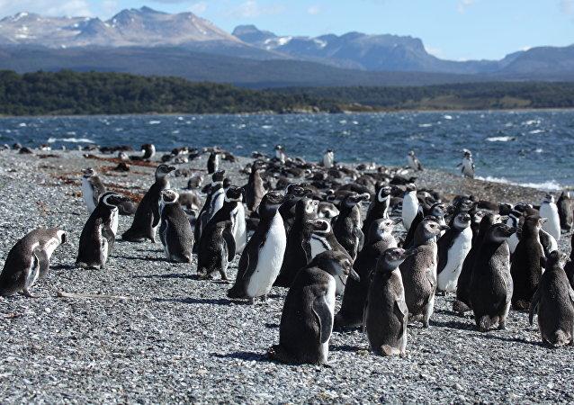 Pingüinos de Magallanes en Argentina