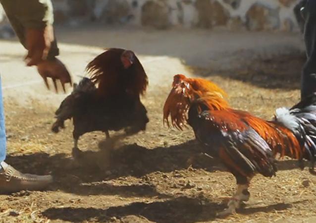 Peleas de gallos en México