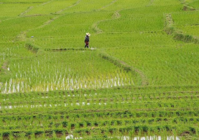 Plantaciones de arroz en Tailandia