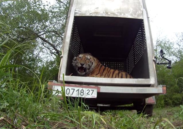 Tigre siberiano recorre 700 kilómetros de taiga