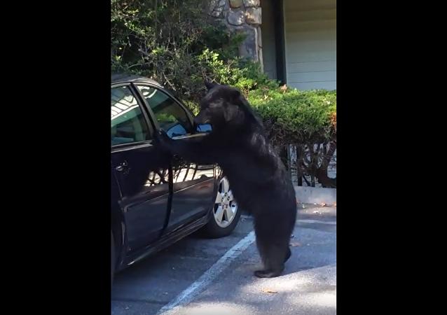El oso y la bocina