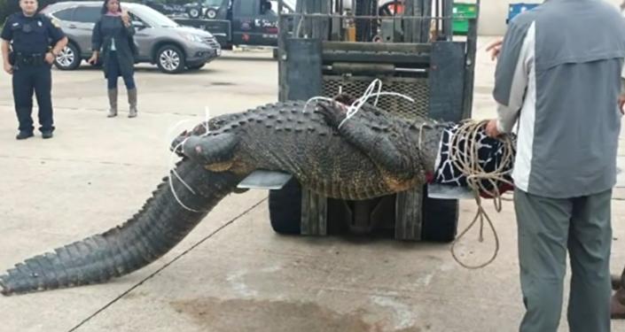 La cazadora de cocodrilos entra en acción