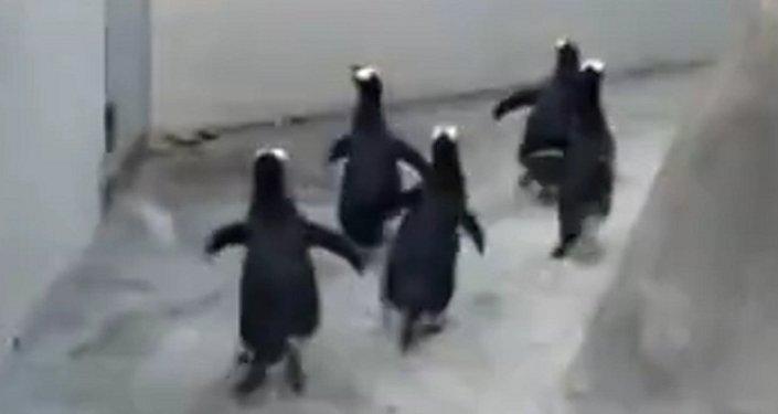 Fuga frustrada de pingüinos  en un zoo de Dinamarca