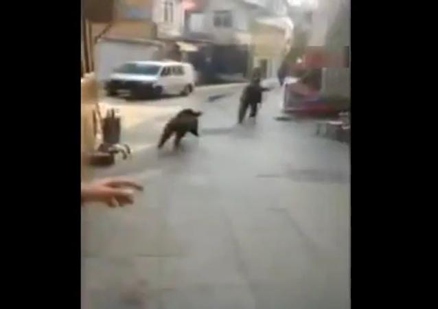 "Estambul sufre un ""ataque"" de jabalí"