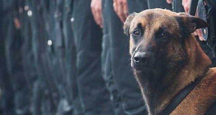 Diesel, la perra de asalto belga que perdió la vida durante la operación en Saint-Denis