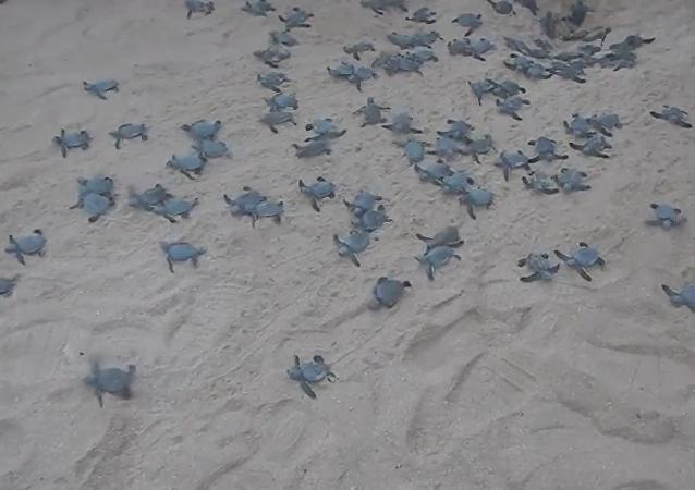 Bebés de tortuga se lanzan al mar