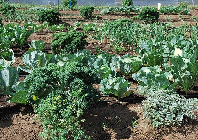 Cultivo de verduras en Guatemala