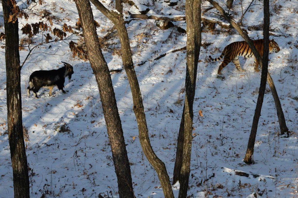 La insólita amistad entre un tigre y un chivo