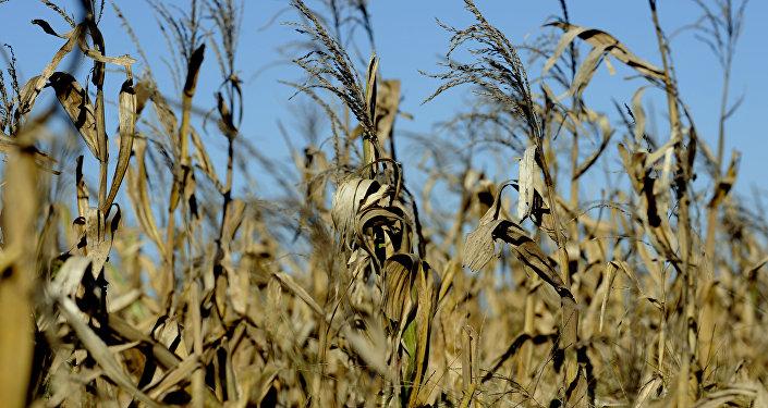 Un campo de maíz en Argentina (archivo)