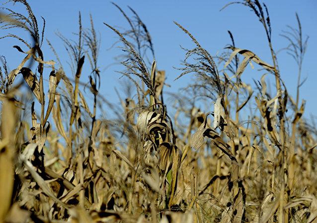 Un campo de maíz
