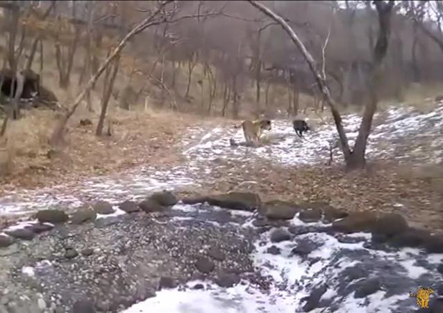 """Un tigre y una cabra juegan al """"corre que te pillo"""""""