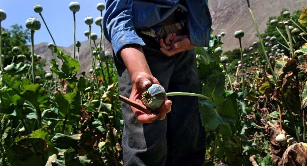 Plantación de la amapola del opio en Afganistán