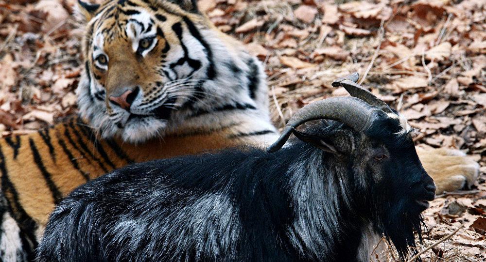 El chivo Timur y el tigre Amur