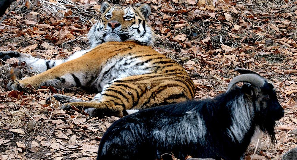 Tigre Amur con el chivo Timur