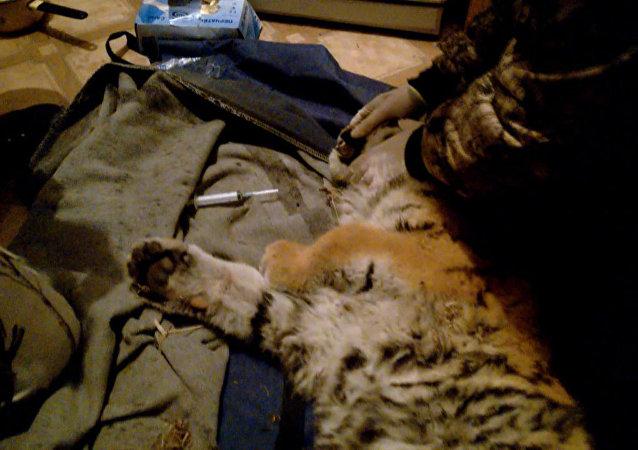 Rescate de un cachorro del tigre de Amur