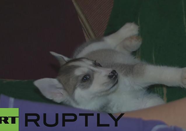 Putin regala un cachorro de labrador a una niña por Año Nuevo