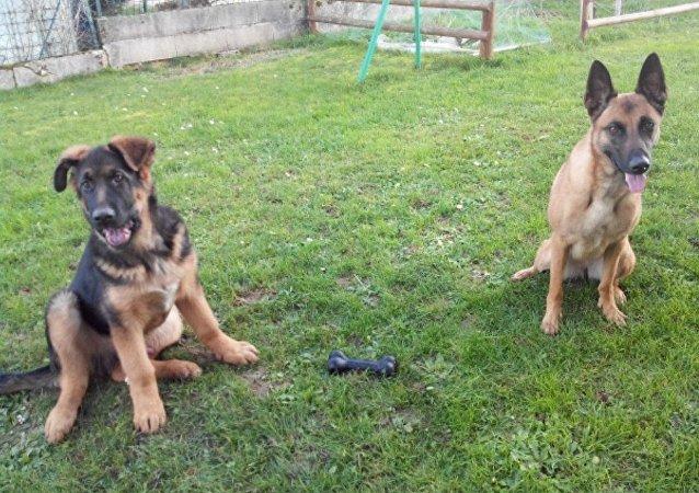 El cachorro Dobrynya con su novia, la perra de pastor belga Ali