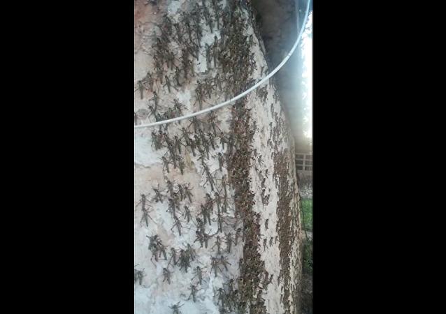 La peor invasión de langostas en 50 años destruye cosechas en Argentina