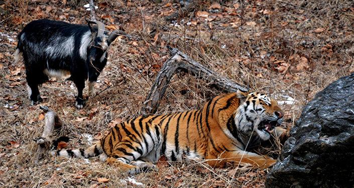 Chivo Timur y tigre Amur