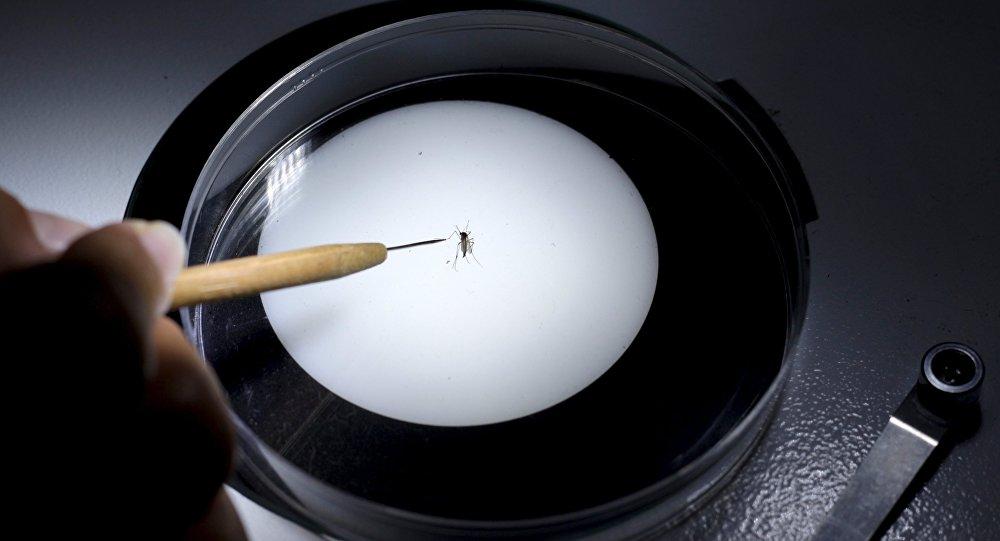 Un técnico de sanidad inspecciona un mosquito Aedes aegyti