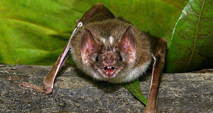 Un murciélago vampiro del género Desmodus rotundus