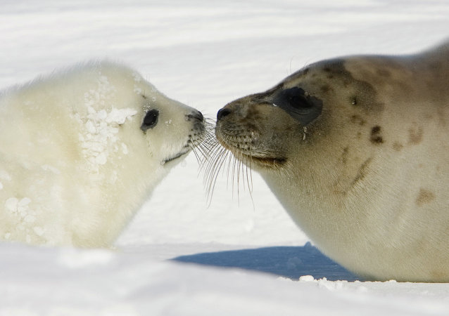 Las focas marinas