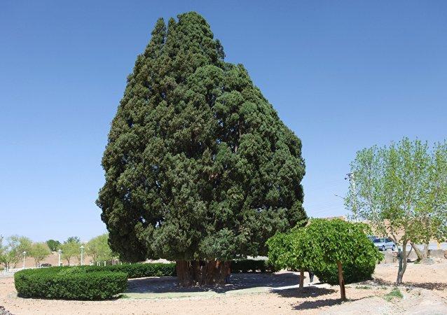 Segundo árbol más antiguo del mundo