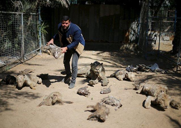 El dueño del zoo, Mohammad Oweida, muestra los animales disecados que han muerto durante la guerra del 2014