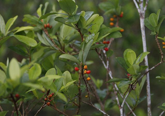 Planta de coca