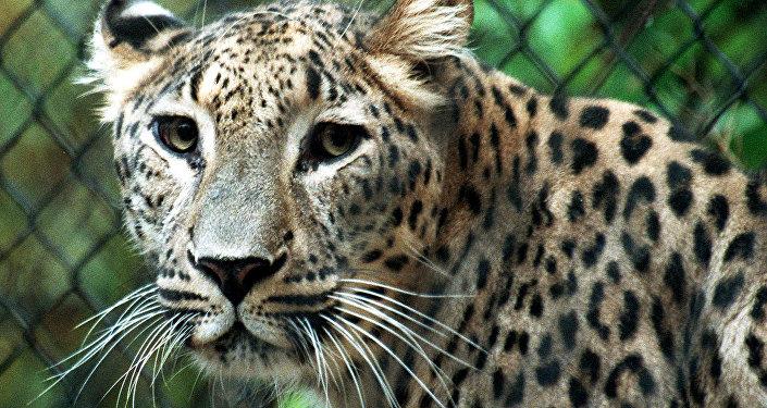 Leopardo de Persia